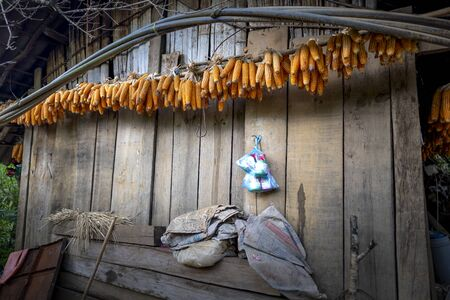 Dried corn, photo of corncob that farmer hanging on wood bar for dried it by a sunlight in a background, primitive corn harvesting in a countryside