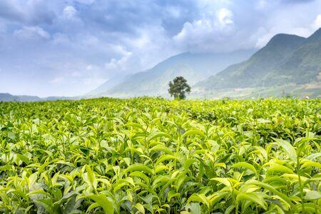 Tea fields in the high mountains of northwest Vietnam Stockfoto