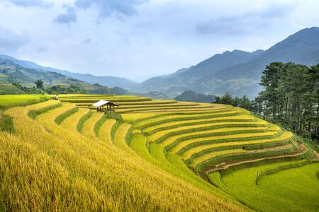 Paddy rice terraces with ripe yellow rice. Agricultural fields in countryside area of Mu Cang Chai, Yen Bai, mountain hills valley in Asia, Vietnam. Nature landscape background