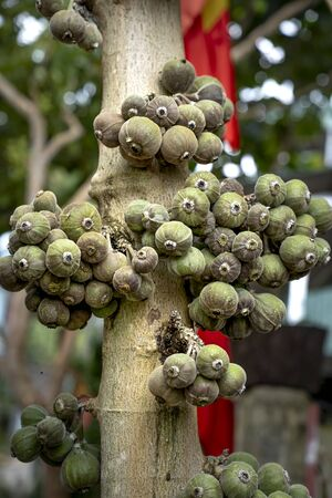 Figs fruits are sweet fruits soft skin Stockfoto