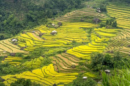 Paddy rice terraces with ripe yellow rice. Agricultural fields in countryside area of Hoang Su Phi, Ha Giang province, Vietnam. Mountain hills valley in Asia, Vietnam. Nature landscape background Stockfoto
