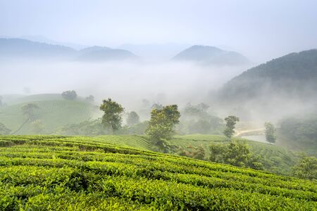 Long Coc tea hill, Phu Tho province, Vietnam in an early foggy morning.Long Coc is considered one of the most bheautiful tea hills in Vietnam, with hundreds and thousands of small hills.