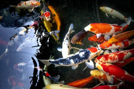 Close-up images of colorful schools of Koi fish Stockfoto