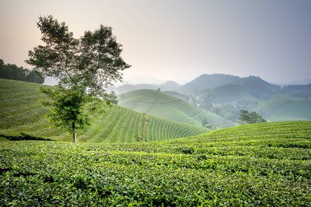 View panoramic misty morning at tea plantation in Long Coc, Phu Tho province, Viet Nam