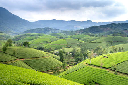 Long Coc tea hill, Phu Tho province, Vietnam in an morning. Long Coc is considered one of the most beautiful tea hills in Vietnam, with hundreds and thousands of small hills
