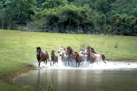 Herd of horses in Huu Lung, Lang Son province, Viet Nam