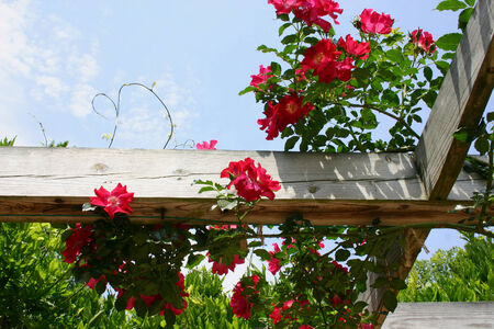 rose bush on a wood beam