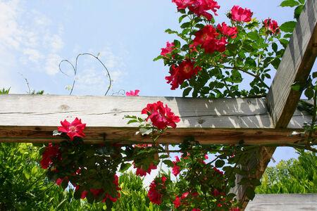 rozenstruik op een houten balk Stockfoto