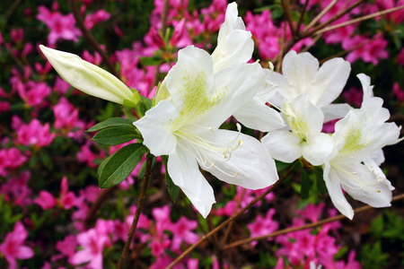 White Azaleas against pink ones