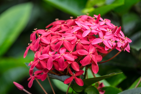 Red west indian jasmine, front focus, blurred background