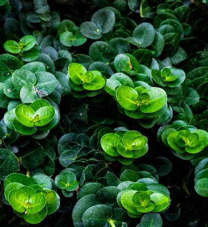 ombligo: Grupo de ombligo Peperomia, gradación verde