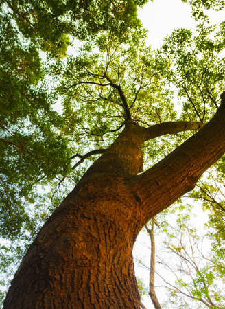 bough: Bottom view of  big tree in sunny day. Stock Photo