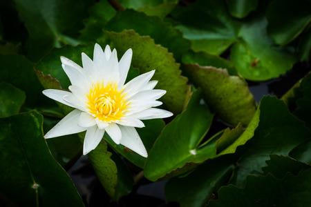 A beautiful white lotus with green leave in the pond, selective focus and vignette effect.