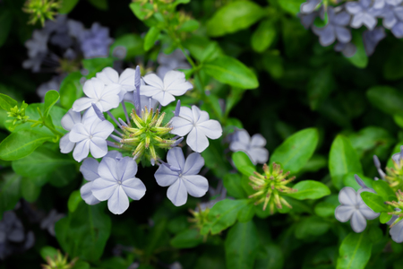 auriculata: Group of plumbago auriculata in blue color with green leaf background, selective focus. Stock Photo