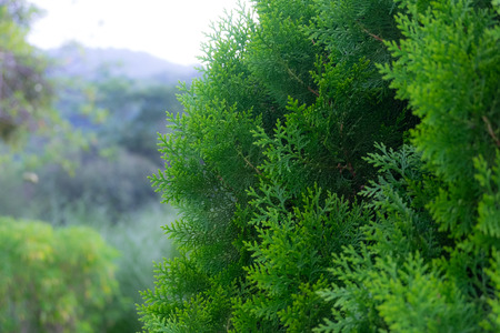 Closeup of green christmas tree with forest background, selective focus. Stock Photo
