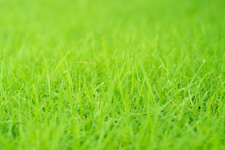 Close up of green fresh grass with water drop on the top of the leaves which is a part of the outdoor nature lawn, selective soft focus.