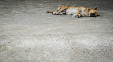 The cute brown dog is sleeping and lying down on footpath, selective focus.