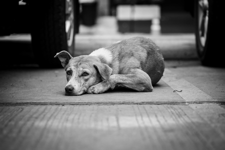 Stray brown dogs are looking the camera on concrete floors in outdoor car park area in black and white colour, selective focus. Stock Photo