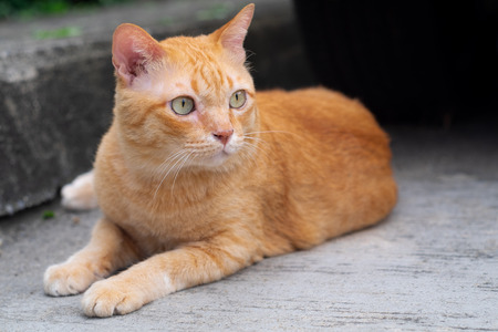 The cute orange tabby fat cat sitting and looking  at something with interest. Stock Photo