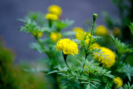 A group of yellow marigold flowers in beautiful garden, selective focus. Stock Photo