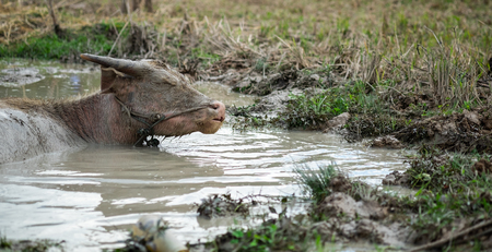 A young buffalo mud is asleep in swamp happily.