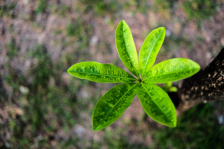Young leaves of frangipani tree in top view, selective and front soft focus. Stock Photo