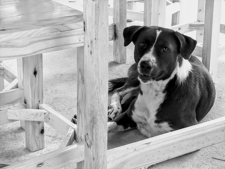 A cute mix breed young dog sitting under the table and looking at the camera, black and white tone and selective focus.