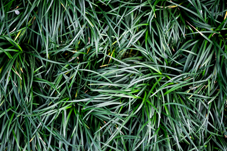 Green ophiopogon japonicas leaves on top view in natural garden.