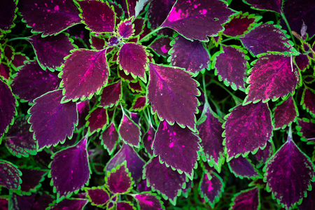 Coleus plants in purple and green color on top view, selective focus.