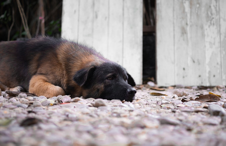 A lonely mix breed cute dog sleeping and thinking on the gravel floor. Stock Photo