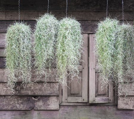 Group of spanish moss hanging with wooden wall background.