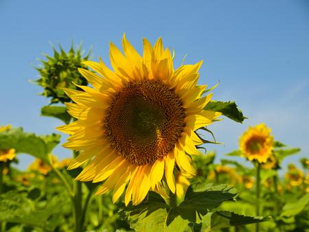 biofuel: Sunflower