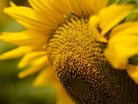 Sulflower Stock Photo