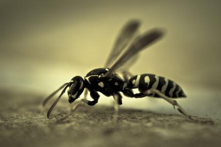 Macro Bug Wasp
