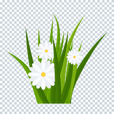 Camomiles and a green grass on transparent background bottom border. Template for summer cards for birthday and holidays. Flat vector cartoon illustration. Reklamní fotografie - 123181224