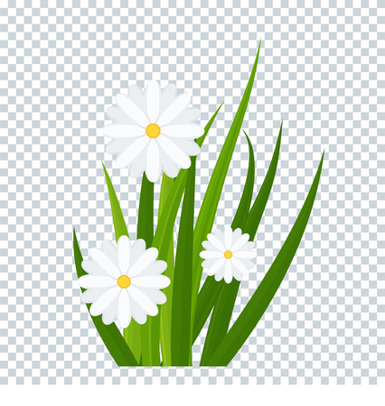 Camomiles and a green grass on transparent background bottom border. Template for summer cards for birthday and holidays. Flat vector cartoon illustration.