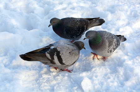 morality: doves on the snow, they are talking each other