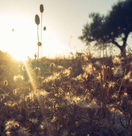 Sunset last sun rays on withered grass Archivio Fotografico