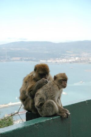 Wild Barbary Apes on the Rock of Gibraltar on the southern tip of Europe photo