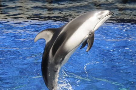 stanley: dolphins in Vancouver Aquarium in Stanley Park Vancouver Canada