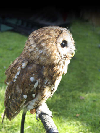 burnley: Rescued Tawny Owl at Burnley Festival in Lancashire England