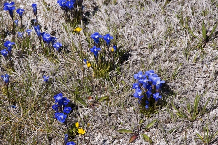 Gentians, wild flowers growing by Geothermal pool in Yellowstone National Park Wyoming photo