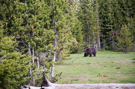 Grizzly Bear in Yellowstone National Park Wyoming photo
