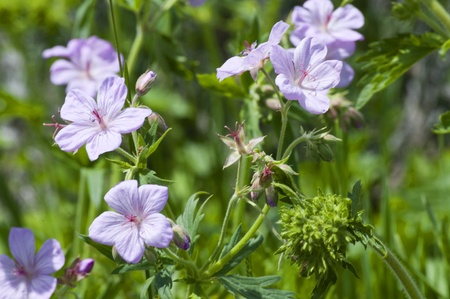 Wild geraniums at Jenny Lake Grand Tetons National Park Wyoming USA photo