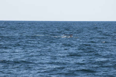 Whale Watching off Cape Cod an island and a cape in the state of Massachusetts, in the Northeastern United States photo