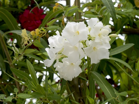 Oleander flowers on the Costa del Sol in Spain Stock Photo - 11041986
