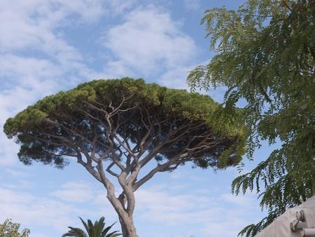 marqueteria: Paraguas de pino en Anacapri en la isla de Capri, Campania, Italia