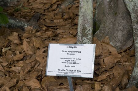 myers: Banyan Tree in Fort Myers Florida USA Editorial