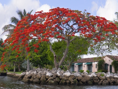 surf shop: Royal poinciana is native to Madagascar. It is widely cultivated and may be seen adorning avenues, parks and estates in tropical cities throughout the world Stock Photo