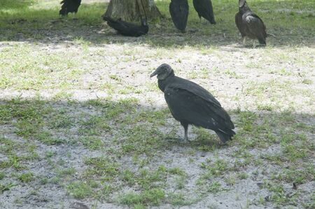 re fuel: Turkey Vulture at  Kennedy Space Centre at Cape Canavarel Florida